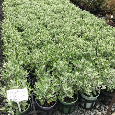 Brachyglottis greyi stock