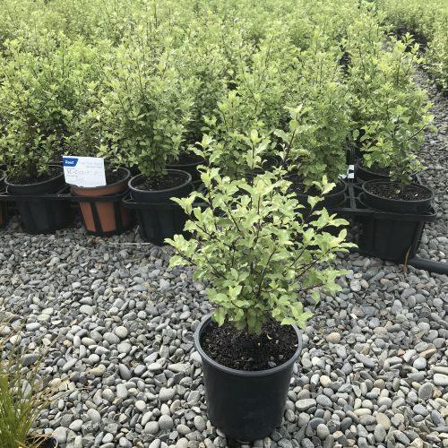 Pittosporum tenuifolium 2L