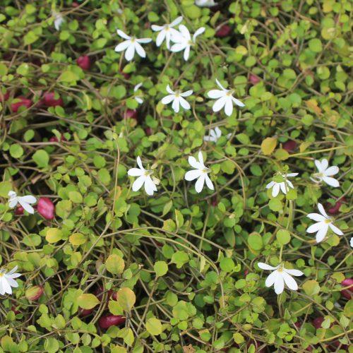 Lobelia angulata
