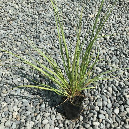 Austroderia richardii RX90
