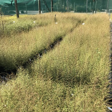 Kunzea serotina crop