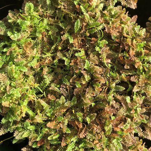 Leptinella serrulata