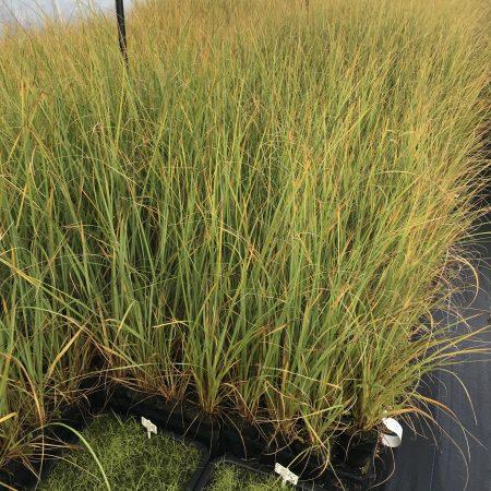 Austroderia richardii crop