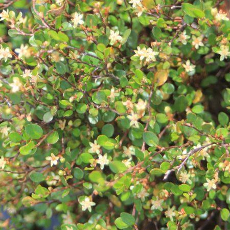 Muehlenbeckia axilllaris